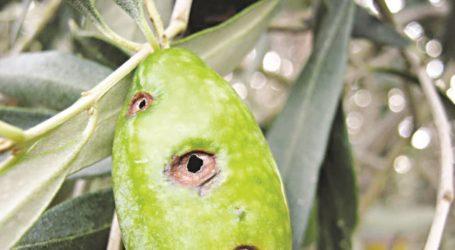Διενέργεια δολωματικών ψεκασμών για την καταπολέμηση του δάκου της ελιάς σε ελαιοκομικές περιοχές Μαγνησίας