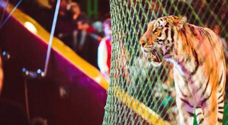 Τίγρεις σε τσίρκο της Ιταλίας κατασπάραξαν τον θηριοδαμαστή τους