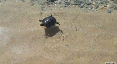 Nεογέννητο χελωνάκι ξεβράστηκε σε παραλία