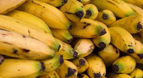 Εντόπισαν εστία μύκητα που καταστρέφει τις φυτείες μπανάνας