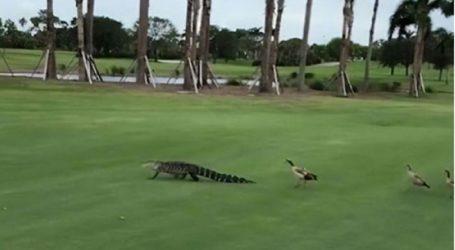 Πάπιες διακόπτουν αγώνα γκολφ και παίρνουν στο κυνήγι αλιγάτορα μέσα στο γήπεδο