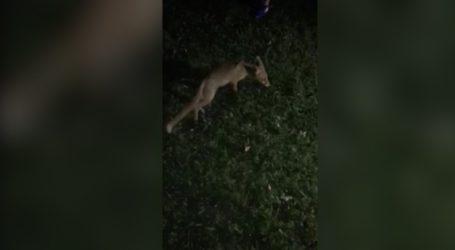 Πάργα: Οικόσιτη αλεπού τρώει κοτόπουλο