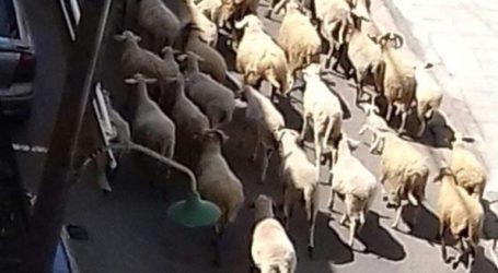 Τα πρόβατα βόσκουν ανεπιτήρητα… στο κέντρο της