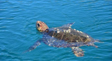 Χελώνα καρέτα – καρέτα στο λιμάνι του Βόλου