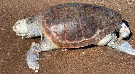 Νεκρή χελώνα καρέτα – καρέτα σε παραλία της Μαγνησίας