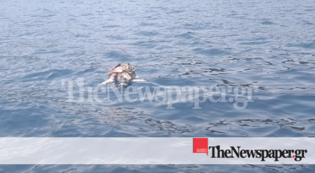 ΤΩΡΑ: Τραυματισμένη θαλάσσια χελώνα στον Παγασητικό [εικόνα]