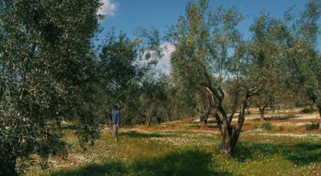 Διενέργεια δολωματικών ψεκασμών για την καταπολέμηση του δάκου της ελιάς σε ελαιοκομικές περιοχές Μαγνησίας και Σποράδων