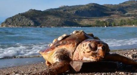 Νεκρή θαλάσσια χελώνα στον Βόλο