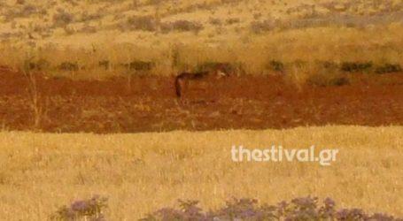 Αγέλη λύκων προκαλεί αναστάτωση στους κατοίκους της Νέας Μεσημβρίας