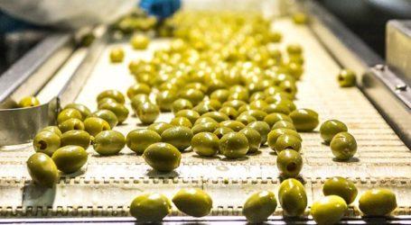 Σημαντικά μειωμένη αναμένεται η φετινή παραγωγή πράσινης ελιάς