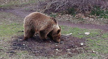 Παγωτό για… αρκούδες στον ζωολογικό κήπο στην πόλη Ντόμπριτς