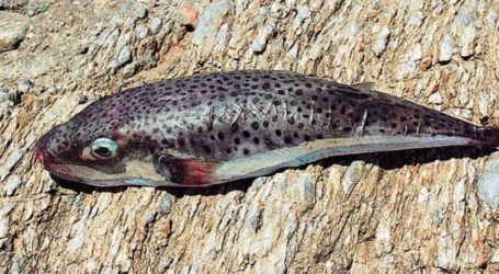 Λαγοκέφαλοι: Γέμισε και ο Παγασητικός με το επικίνδυνο ψάρι – Τι να προσέχετε