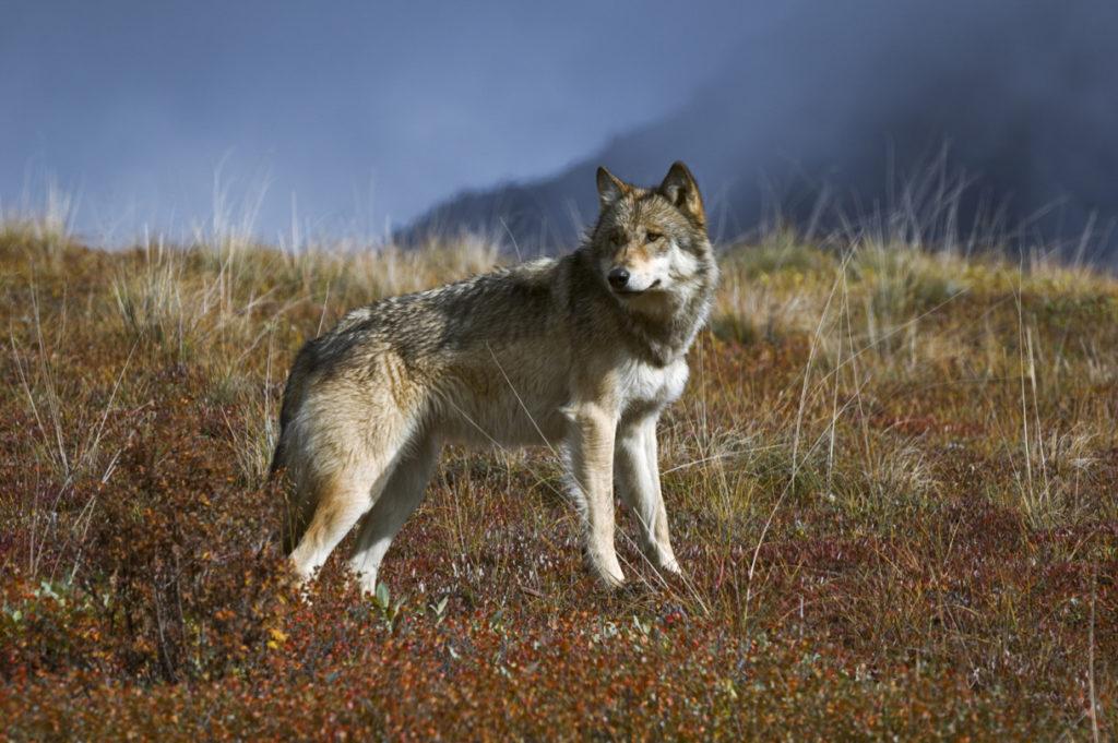 wolf aigina