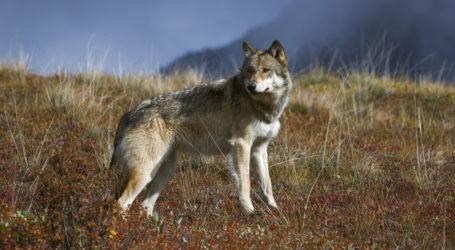 Αγέλη λύκων έκανε την εμφάνισή της στο Πήλιο – Τι φοβούνται οι κάτοικοι