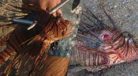 Επικίνδυνο λεοντόψαρο εμφανίστηκε σε παραλία των Χανίων
