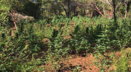 Εντοπίστηκαν τρεις φυτείες κάνναβης στα Γεράνεια Όρη