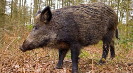 Αγριογούρουνο τραυμάτισε σοβαρά κυνηγό στη Σκαμνιά Ελασσόνας