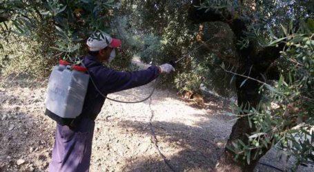 Δολωματικοί ψεκασμοί κατά του δάκου από την Περιφέρεια στους Δήμους Αγιάς, Τυρνάβου και Τεμπών