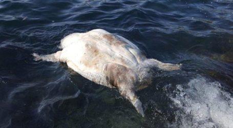 Νεκρή χελώνα καρέτα – καρέτα στο λιμάνι του Βόλου