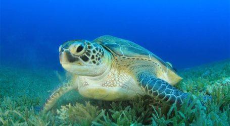 Κι άλλη νεκρή χελώνα καρέτα καρέτα στο λιμάνι του Βόλου