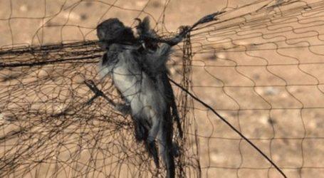 Λαθροθήρες εγκλώβισαν δεκάδες πουλιά μέσα σε δίχτυ σε ελαιώνα