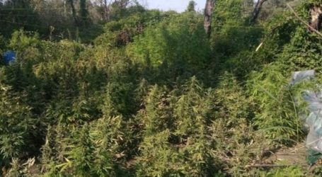Εντοπίστηκε φυτεία 104 δενδρυλλίων κάνναβης στο Ηράκλειο