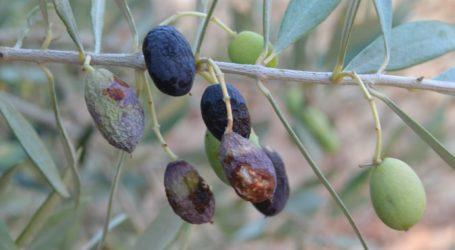 Μαγνησία: Διενέργεια δολωματικών ψεκασμών για την καταπολέμηση του δάκου της ελιάς