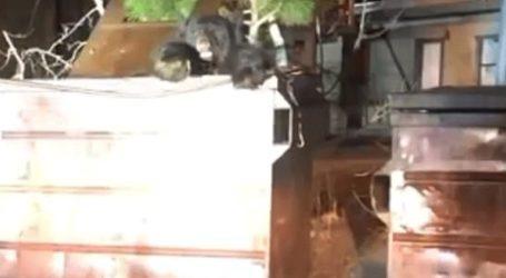 Θαρραλέοι αστυνομικοί απεγκλώβισαν αρκούδα από κάδο σκουπιδιών στην Καλιφόρνια