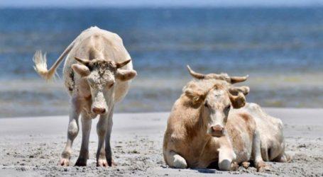 Βρέθηκαν ζωντανές τρεις αγελάδες που παρασύρθηκαν από τον τυφώνα Ντόριαν τον Σεπτέμβριο