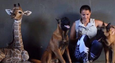 Σκύλος, ο καλύτερος φίλος μιας καμηλοπάρδαλης