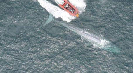 Έκαναν καρδιογράφημα σε γαλάζια φάλαινα για πρώτη φορά