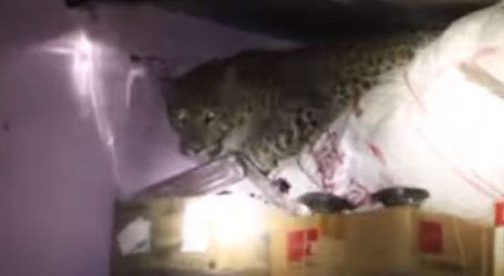 Λεοπάρδαλη εισέβαλε σε σπίτι στη Μαχαράστρα προκαλώντας πανικό