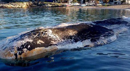 Φάλαινα ξεβράστηκε στην Κερατέα – Βρέθηκε μπαταρία αυτοκινήτου στο στομάχι της