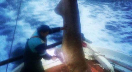 Σκυλόψαρο 400 κιλών ψάρεψαν μεταξύ Πηλίου και Σκιάθου [εικόνα]