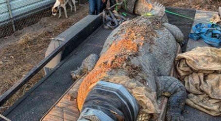 Άντρας έπιασε γιγαντιαίο κροκόδειλο 5,1 μέτρων