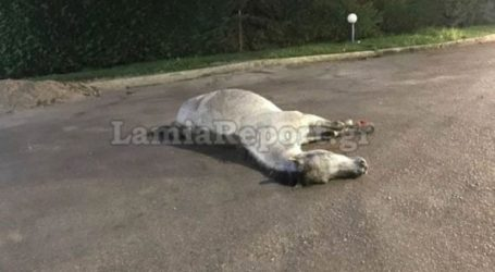 Στυλίδα: Φορτηγό συγκρούστηκε με άλογο