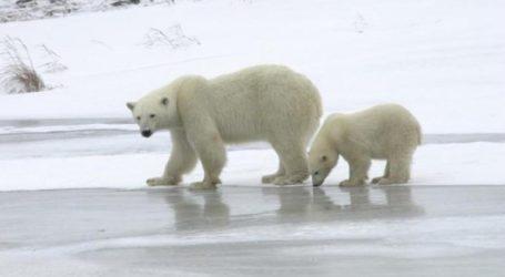 «Εισβολή» από πεινασμένες πολικές αρκούδες δέχθηκε ένα χωριό 500 κατοίκων