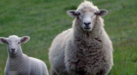 Πρόβατα… έφαγαν χλοοτάπητα γηπέδου αξίας 150.000 ευρώ