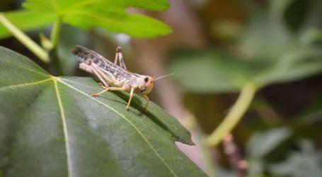 Σοβαρές καταστροφές στον αγροτικό τομέα από εισβολή ακρίδων