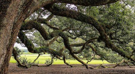 Βελανιδιά 500 ετών υποψήφια για το «δέντρο της χρονιάς»