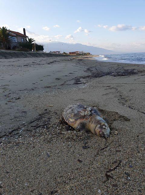 Τα κύματα «ξέβρασαν» νεκρή θαλάσσια χελώνα στο Καστρί Λουτρό (φωτο)