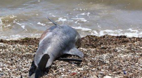 Νεκρό δελφίνι σε παραλία του Πηλίου