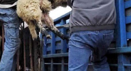 Έπιασαν τον 32χρονο ζωοκλέφτη στον Τύρναβο – Είχε αρπάξει 17 αρνιά από κτηνοτροφική μονάδα