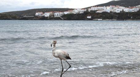 Φλαμίνγκο βρέθηκε σε παραλία της Άνδρου