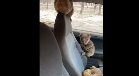 Έφηβοι από την Αυστραλία βάζουν στο αμάξι τους κοάλα για να τα σώσουν από τις φωτιές