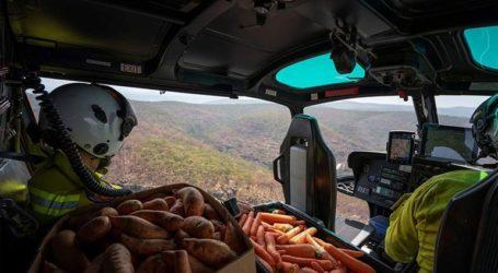 Ελικόπτερα πετούν τροφή σε καγκουρό που λιμοκτονούν