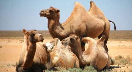 Η Αυστραλία σκότωσε 5.000 καμήλες καθώς «απειλούσαν» τον τοπικό πληθυσμό εν μέσω ξηρασίας