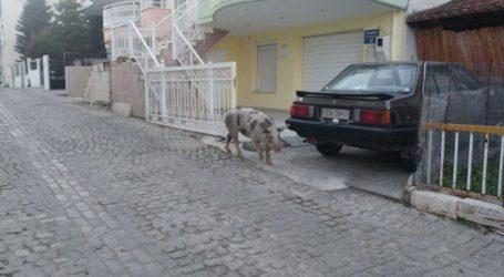 Γουρούνι βγήκε… βόλτα στους δρόμους της Κοζάνης