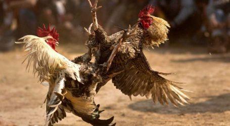 Άνδρας πέθανε από επίθεση κόκορα σε παράνομη κοκορομαχία