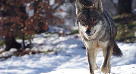 Λύκοι κατέβηκαν σε χωριά του Πηλίου – Που εμφανίστηκαν